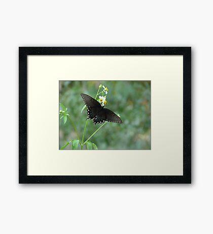 Tiger Swallowtail in Bidens alba Framed Print