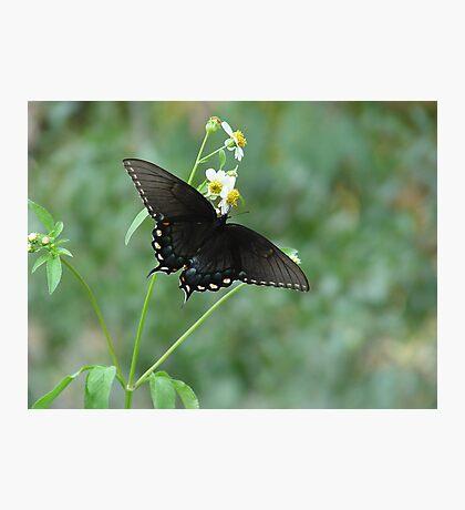 Tiger Swallowtail in Bidens alba Photographic Print