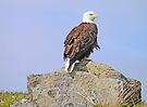 Bald Eagle in Katmai by Graeme  Hyde