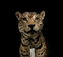 Panthera Onca by Marcel Lee