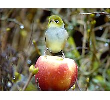 Geeez..It's Freeeezing Out Here!!! - Silvereye - NZ Photographic Print