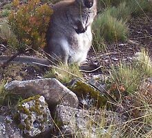 cute and chubby cuddly wallaby ...just waiting at Cradle Mt Lodge  by gaylene