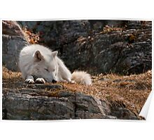 Sleeping Arctic Wolf Poster
