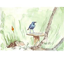Cape Glossy Starling (Lamprotornis nitens) Photographic Print