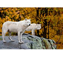 Arctic Wolves On Rocks Photographic Print
