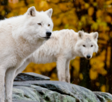 Arctic Wolves On Rocks Sticker