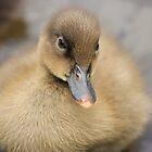 Mallard Duckling... by Chris Kean