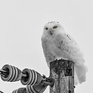 The Power Of The Owl Black and White by Thomas Young