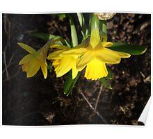 Miniature Daffodils Poster