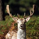 fallow dear by richard clarke