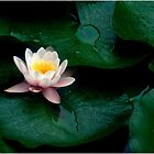 Waterlily #1 by Janos Sison