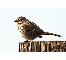 Song Sparrow - Early Spring Photographic Print