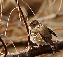 White-Crowned Sparrow - Backward  by Ryan Houston