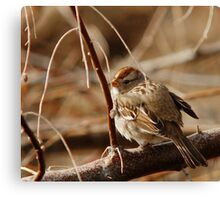 White-Crowned Sparrow - Backward  Canvas Print