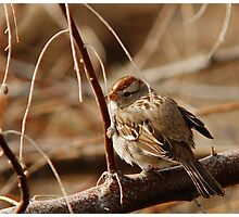 White-Crowned Sparrow - Backward  Photographic Print