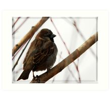 House Sparrow - Lehi, Utah Art Print