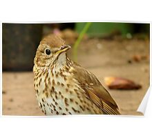 Could You Repeat That Please..? - Song Thrush - NZ Poster