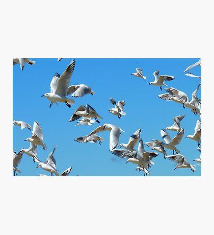 The Sky Dancers - Seagulls - NZ Photographic Print