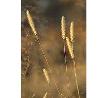New Mexico wild oats Photographic Print