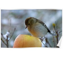 Awww!! Do I Really Have To Eat This - I Don't Need To Go On A Diet!! - Female Chaffinch Poster