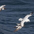 Southern Fulmar and Cape Petrels ~ Company  by Robert Elliott