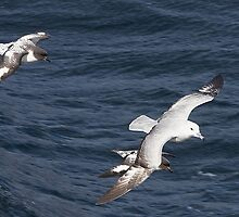 Southern Fulmar and Cape Petrels ~ Company  by Robert Elliott