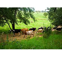 Milking time Photographic Print