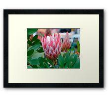 Protea Cynaroides Flower Framed Print