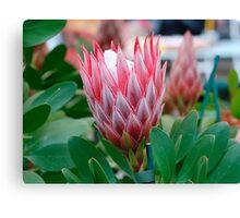 Protea Cynaroides Flower Canvas Print