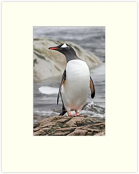 Gentoo Penguin by Robert Elliott