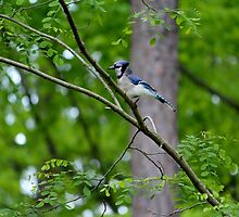 Blue Jay by Cynthia48