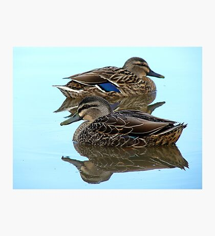 We're Cool, Calm And Collected..! Mallard Ducks - NZ Photographic Print