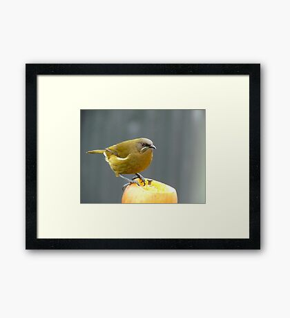 I'm Hungry For The Big Apple - Bell-Bird - Southland Framed Print