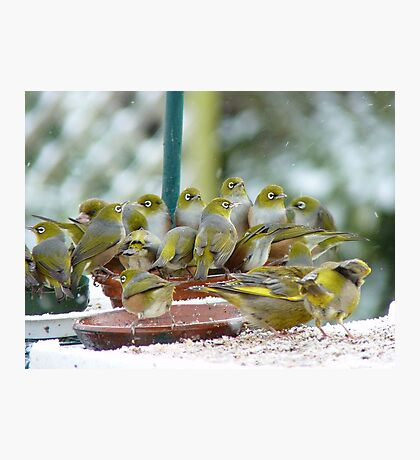 We Are Gathered Here Together In The Presence Of Nature...Silver-eyes -NZ Photographic Print