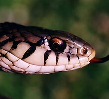 Garter Snake by darrinb