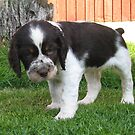 English Springer Spaniel puppy by Mike Paget