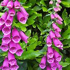 Twin Foxgloves by kookaburra