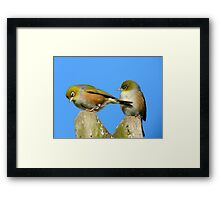 Baby..It's A Long Way Down...Silvereye - NZ Framed Print
