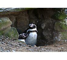 Penguin #2 Photographic Print