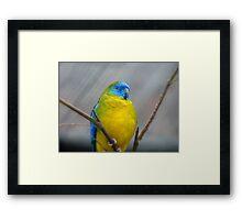 I'm Poised...I Won't Blink!!!! -Turquoise Parrot - Dunedin - Otago - NZ Framed Print