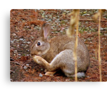 Underfoot Pine Needles Are A Pain In The...Wild Bunny/Hare - NZ  Canvas Print