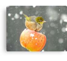 Who Needs A Broom When You Have A Flying Apple!!......Silver-eye - NZ Canvas Print