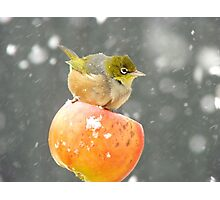 Who Needs A Broom When You Have A Flying Apple!!......Silver-eye - NZ Photographic Print