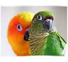 I'm Feeling A Little Camera Shy Bubbles!!...Conure's - NZ Poster