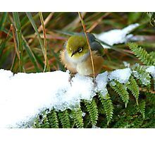 """Gosh!! How On Earth Will I """"FERNish This Place? - Silver-Eye - NZ Photographic Print"""