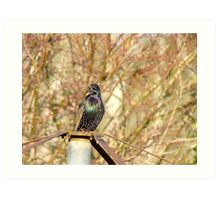 If You Cannot HEAR Me...I'll Shout A Little Louder..Starling... Art Print