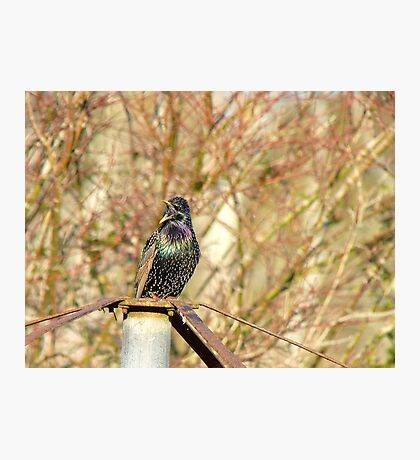 If You Cannot HEAR Me...I'll Shout A Little Louder..Starling... Photographic Print