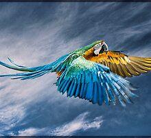 Blue Macaw in flight by Tarrby
