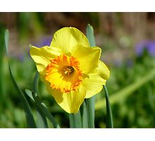 Dance With Daffodils On A Spring Breeze - Daffodil - NZ Photographic Print