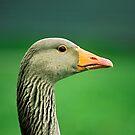 Greylag Goose by Kasia Nowak